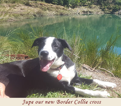 Jupe our new Border Collie cross
